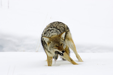 Coyote With Prey