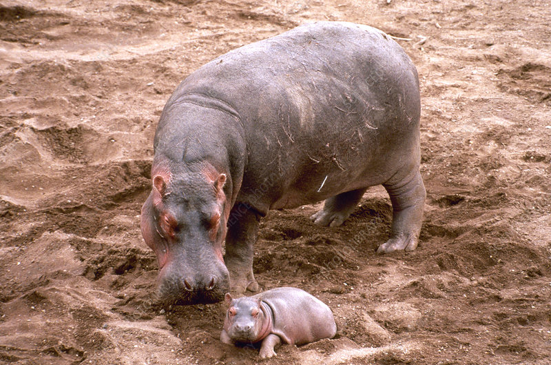 Mother hippo with newborn