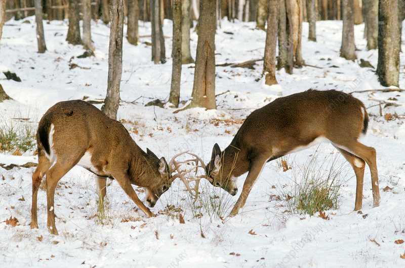 White-tailed bucks fighting for dominance
