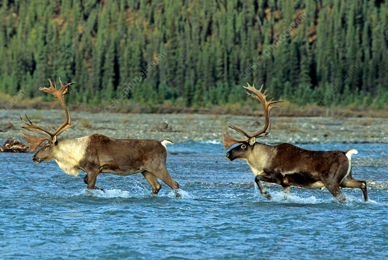 Barren Ground Caribou crossing river