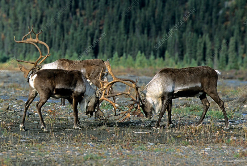 Bull Caribou sparring