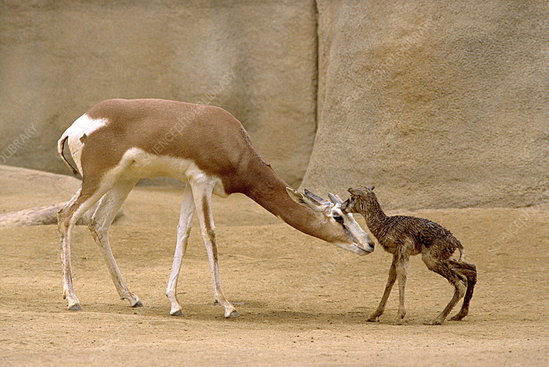 Mhorrs Gazelle With Newborn