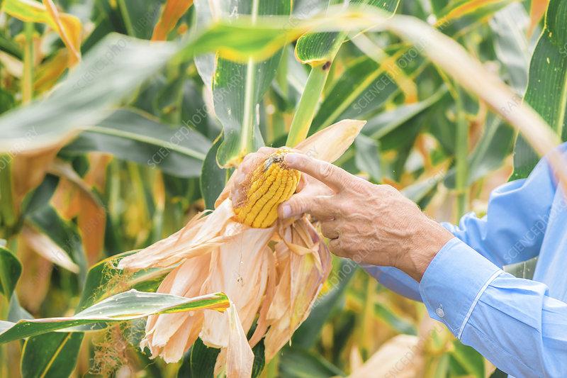 Agronomist analysing ripe corn on the cob