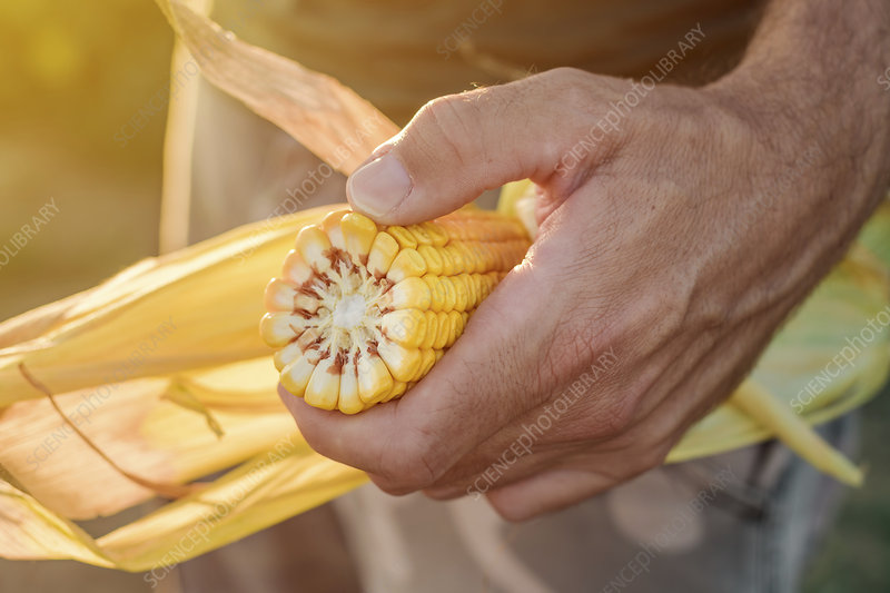 Agronomist holding corn on the cob