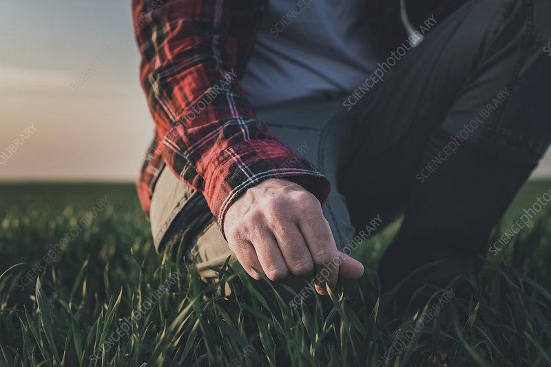 Farmer examining plants in wheatgrass field