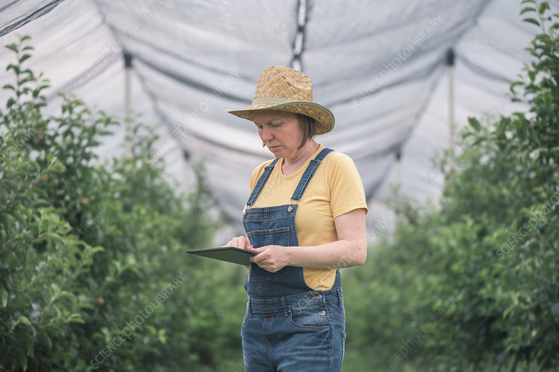 Farmer using tablet computer in organic apple orchard