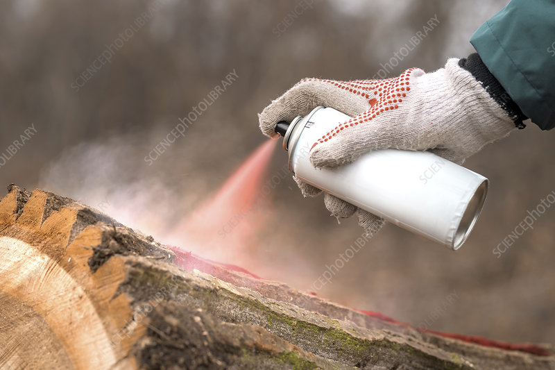 Forestry technician marking tree trunk with red aerosol can
