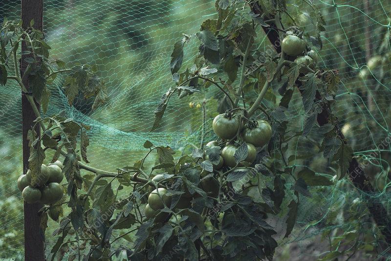 Green tomato in organic vegetable garden