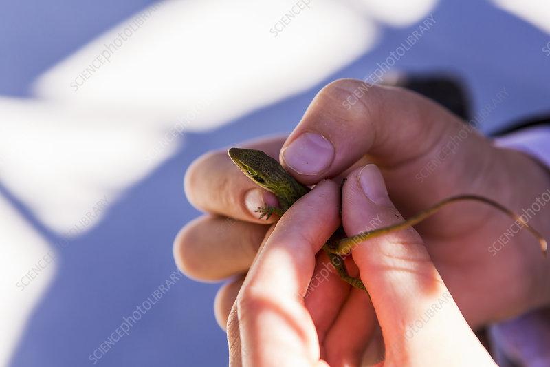 A child's hands holding a small green lizard