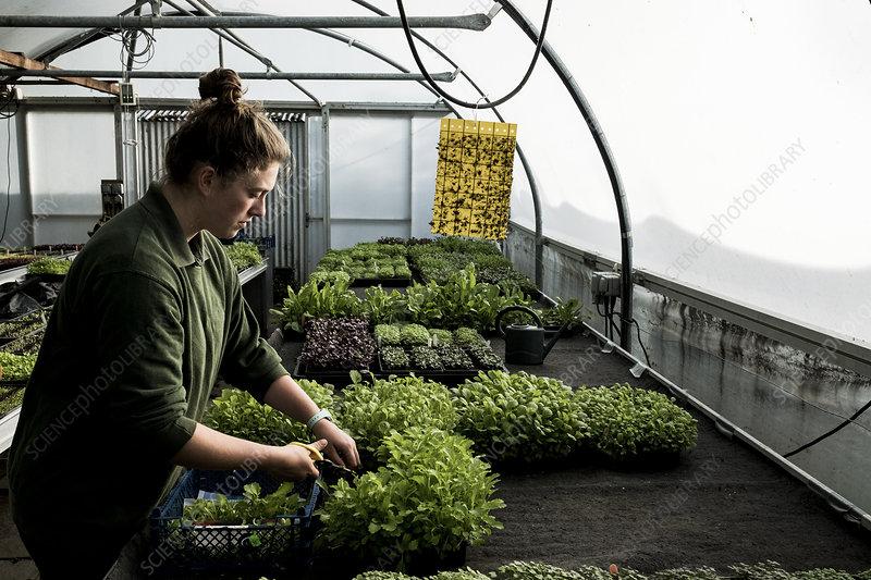 Female gardener working in a greenhouse