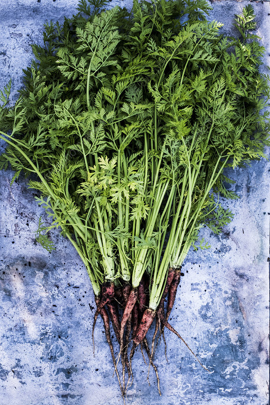 A bunch of freshly picked carrots on grey background