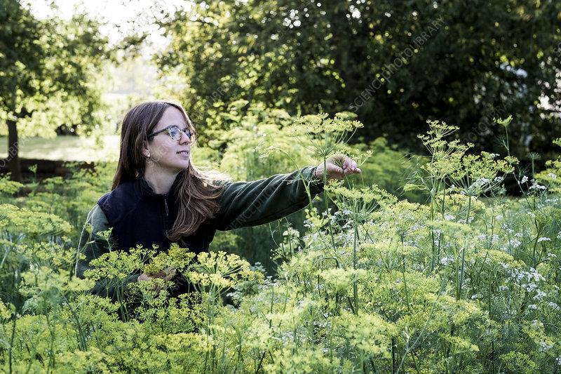 Female gardener inspecting dill plants