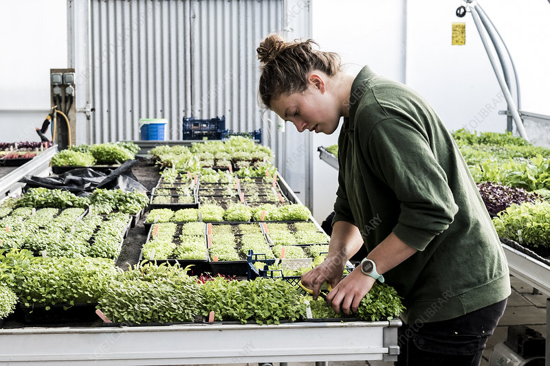 Female gardener working in a greenhouse