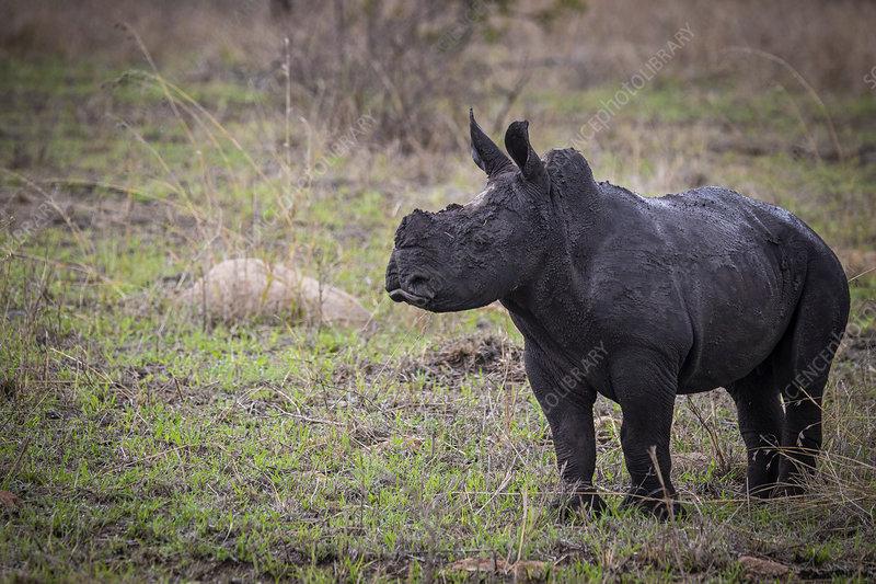 A white rhino calf, Ceratotherium simum