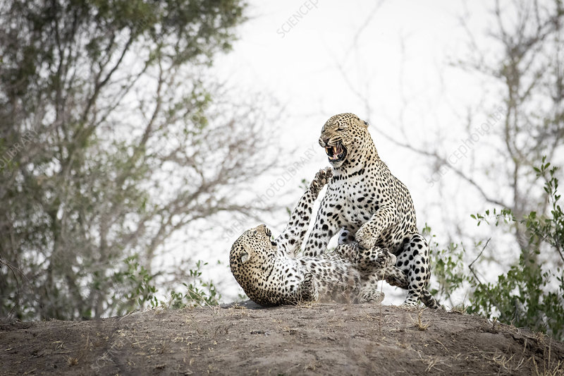 Pair of leopards, Panthera Pardus, snarl at each other