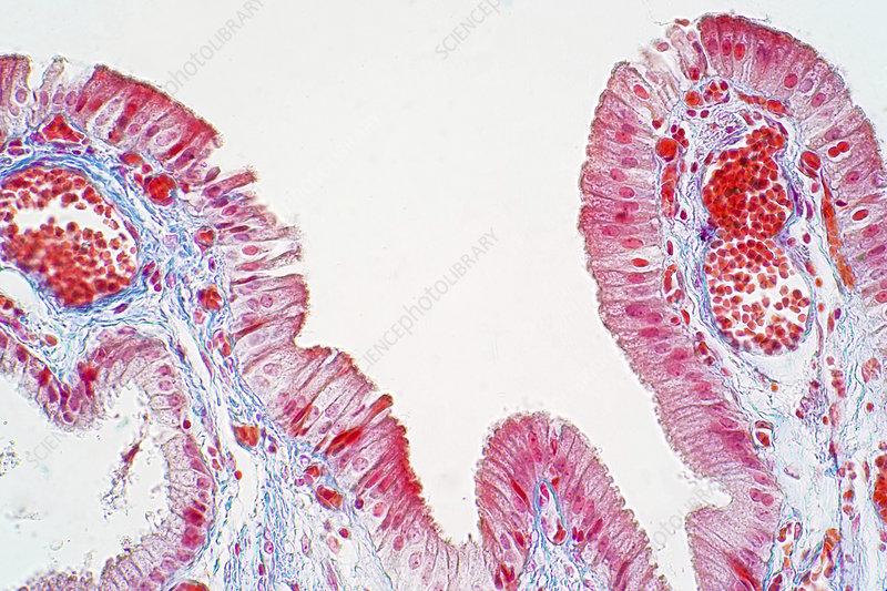 Simple columnar epithelium, light micrograph