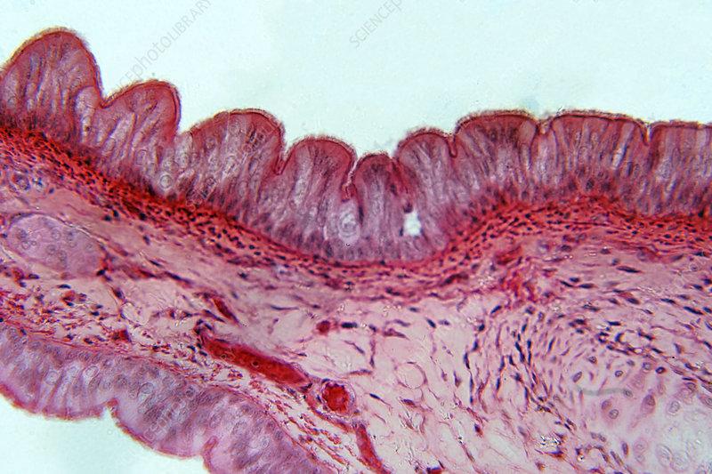 Pseudostratified epithelium, light micrograph