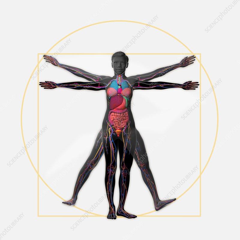 Vitruvian woman, illustration