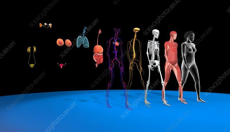 Human body systems, illustration