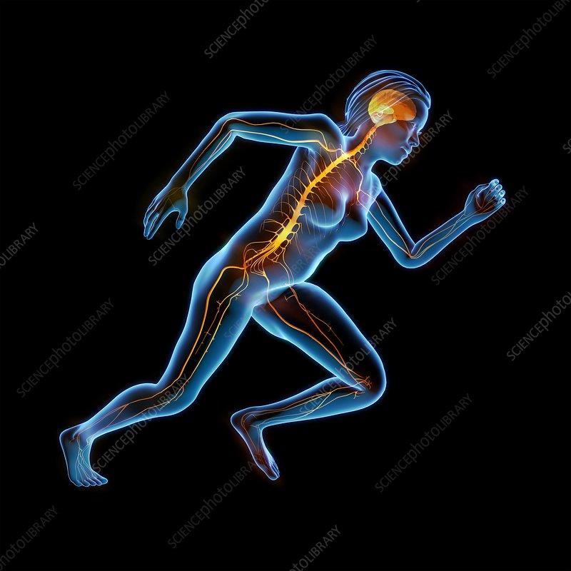 Human nervous system, illustration