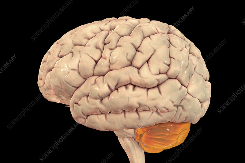 Human brain with highlighted cerebellum, illustration