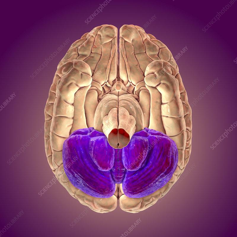Human brain with highlighted cerebellum, illustration