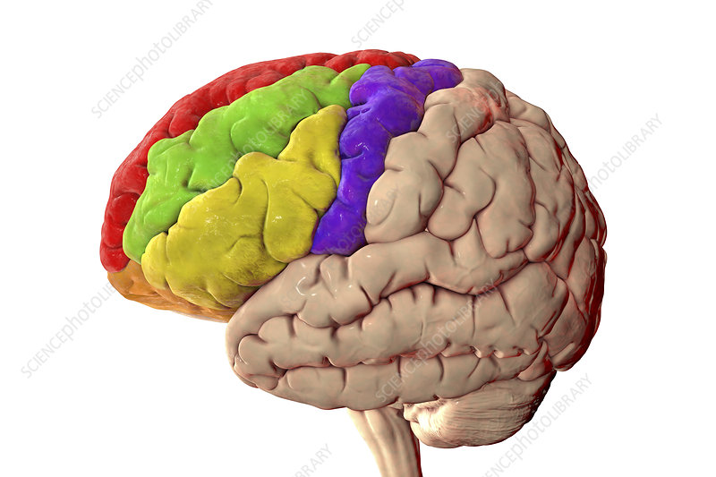 Human brain with highlighted frontal gyri, illustration