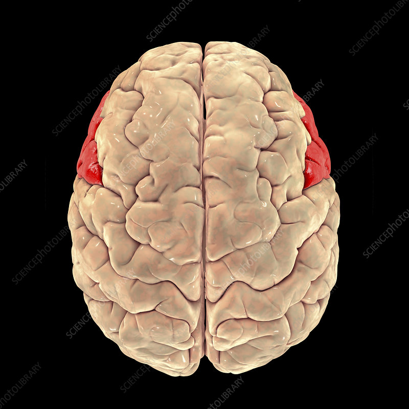 Brain highlighting inferior frontal gyrus, illustration