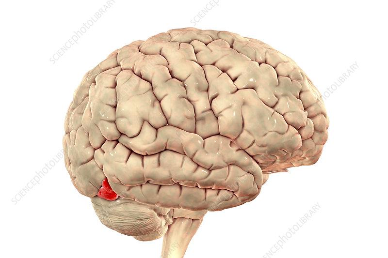 Brain highlighting inferior occipital gyrus, illustration