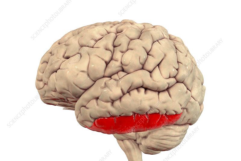 Brain highlighting inferior temporal gyrus, illustration