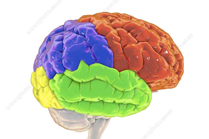 Lobes of the human brain, illustration
