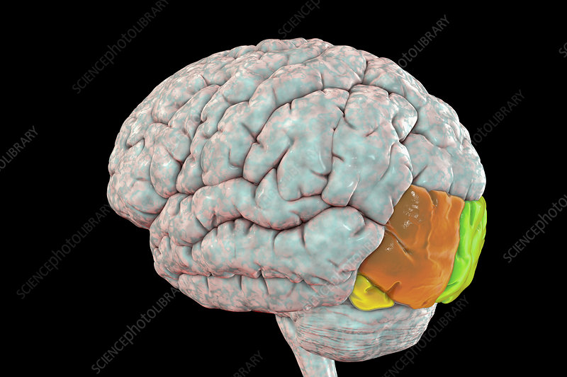 Human brain with highlighted occipital gyri, illustration