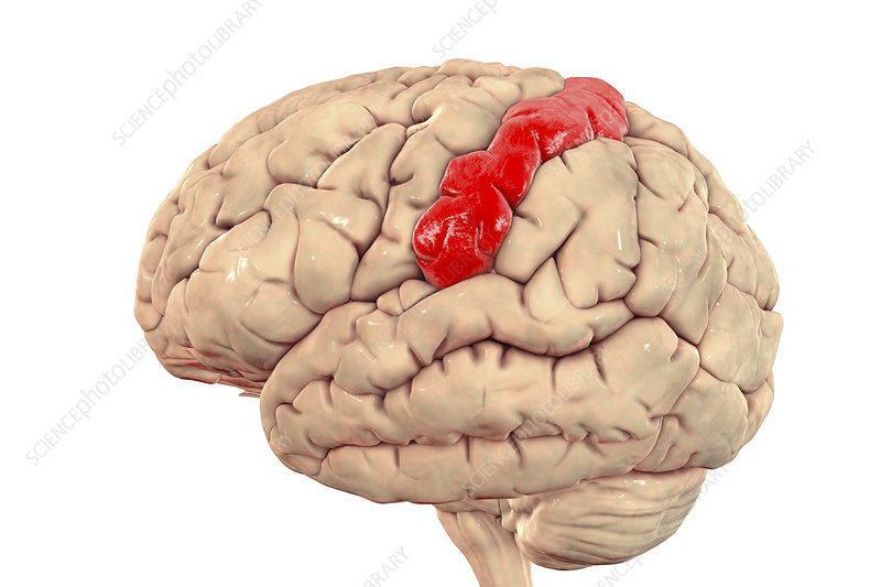 Human brain with highlighted postcentral gyrus, illustration