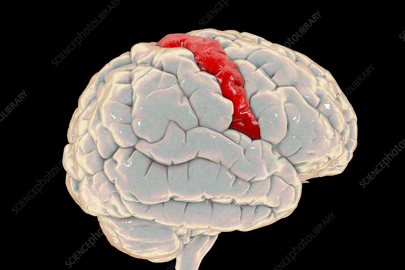 Human brain with highlighted precentral gyrus, illustration