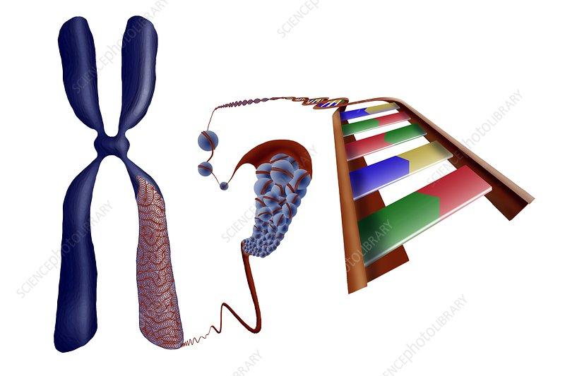 Chromosome structure, artwork