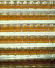 Yeast cultures containing human DNA fragments