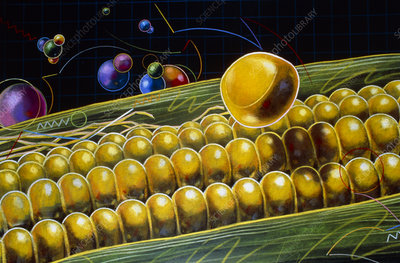 Artwork of genetically improved maize