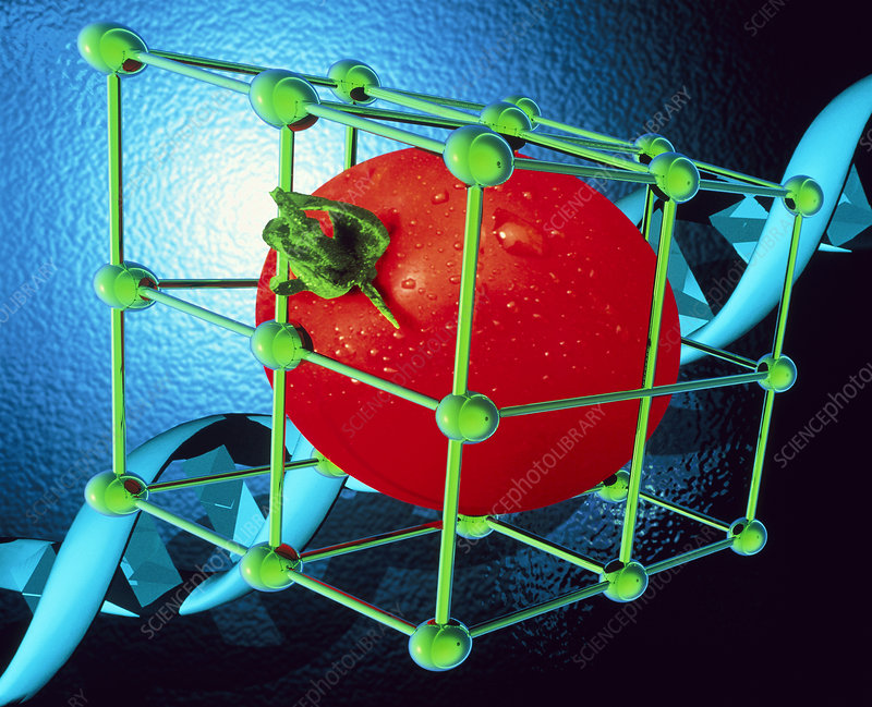 Conceptual image of genetically-engineered tomato