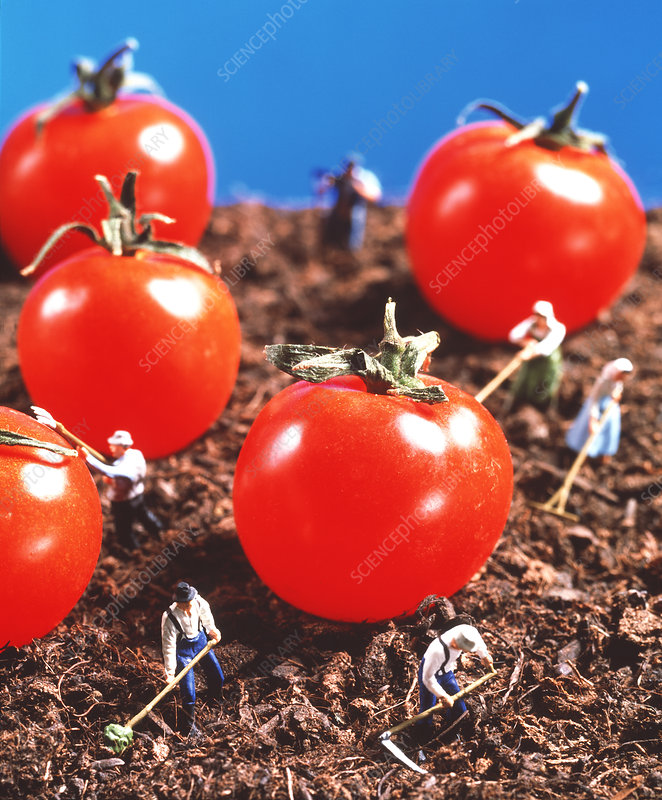 Concept image of genetically engineered tomatoes