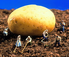 Conceptual image of genetically engineered potato