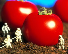 Conceptual image: genetically engineered tomatoes