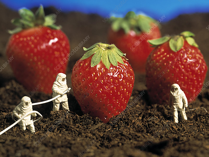 Concept of genetically engineered strawberries