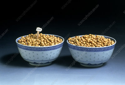 Normal & genetically modified soya beans