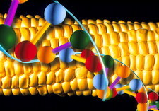 Computer artwork of GM maize with a strand of DNA