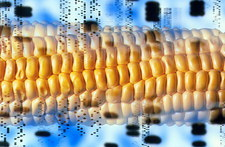 Computer artwork of GM maize and DNA autoradiogram