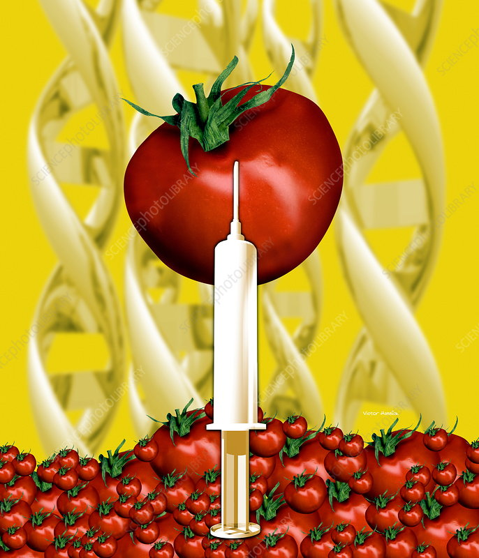 Genetically engineered tomatoes