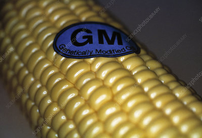 Genetically modified sweetcorn