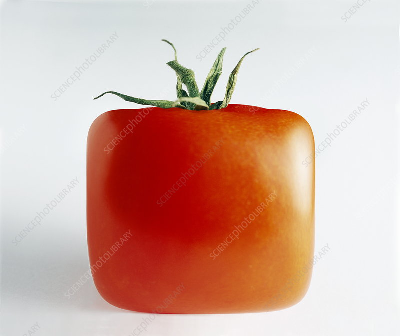 Square Tomato Stock Image G260 0102 Science Photo Library