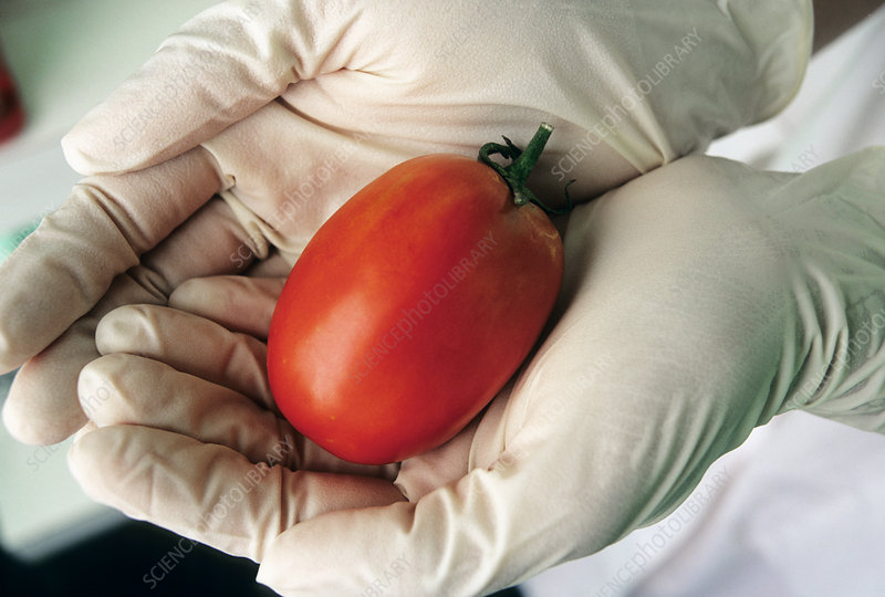 GM seedless tomato
