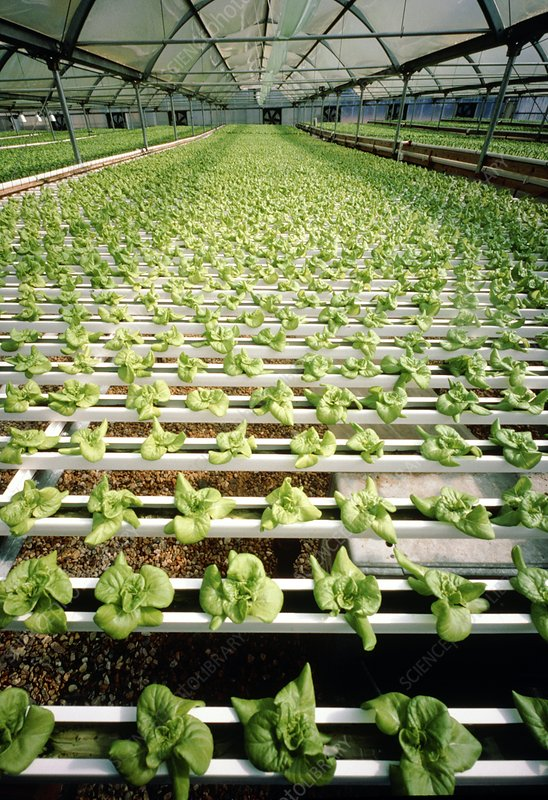 Hydroponic cultivation of lettuces